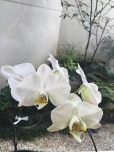 s-2016.7.7  胡蝶蘭
